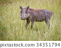 Warthog standing in between the high grasses. 34351794