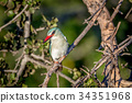 Woodland kingfisher sitting on a branch. 34351968