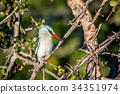 Woodland kingfisher sitting on a branch. 34351974