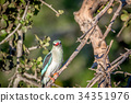 Woodland kingfisher sitting on a branch. 34351976