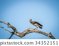 Spur-winged goose sitting on a branch. 34352151