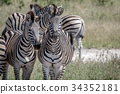 Two Zebras starring at the camera. 34352181