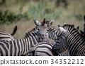 斑馬 野生生物 動物 34352212