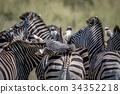 zebra wildlife animal 34352218