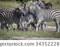 Three Zebras bonding in the Chobe. 34352228