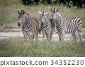 Three Zebras starring at the camera. 34352230