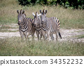 Three Zebras starring at the camera. 34352232