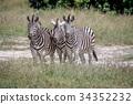 zebra wildlife herbivore 34352232