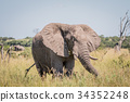 Elephant standing in high grass. 34352248
