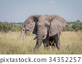 Elephant standing in high grass. 34352257