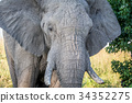 Close up of an old Elephant bull. 34352275