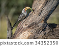 Yellow-billed hornbill with Praying matis. 34352350