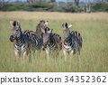 Group of Zebras standing in the grass. 34352362