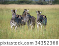 Group of Zebras standing in the grass. 34352368