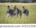 zebra wildlife herbivore 34352368