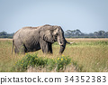 Elephant bull standing in the high grass. 34352383