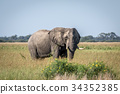 Elephant bull standing in the high grass. 34352385