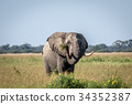 Elephant bull standing in the high grass. 34352387