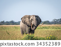 Elephant bull standing in the high grass. 34352389