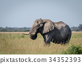 Elephant bull standing in the high grass. 34352393