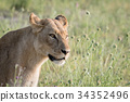 Side profile of a Lion in the grass. 34352496