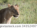 Side profile of a Lion in the grass. 34352497