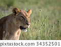Side profile of a Lion in the grass. 34352501