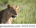 Side profile of a Lion in the grass. 34352502