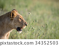 Side profile of a Lion in the grass. 34352503