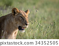 Side profile of a Lion in the grass. 34352505