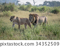 Lion mating couple walking in the grass. 34352509
