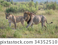 Lion mating couple walking in the grass. 34352510
