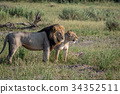 Lion mating couple standing in the grass. 34352511