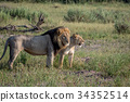 Lion mating couple standing in the grass. 34352514