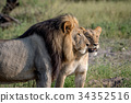Lion mating couple standing in the grass. 34352516