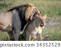 Lion mating couple standing in the grass. 34352529