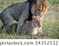 Lions mating in the grass in Chobe. 34352532