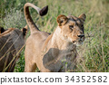 Lion standing in the high grass and starring. 34352582