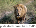 lion wildlife carnivore 34352585