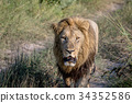 lion wildlife carnivore 34352586