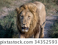 Big male Lion walking towards the camera. 34352593