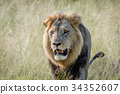 lion wildlife carnivore 34352607