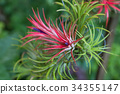 Tillandsia air plant in the nature. 34355147