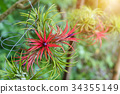 Tillandsia air plant in the nature. 34355149