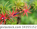 Tillandsia air plant in the nature. 34355152