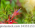 Tillandsia air plant in the nature. 34355153