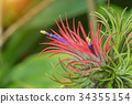 Tillandsia air plant in the nature. 34355154
