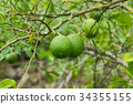 Close up green lime on tree. 34355155