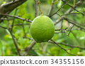 Close up green lime on tree. 34355156