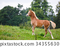 The running foal 34355630